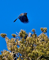 Mountain Blue Bird, Spring Mountains Nevada