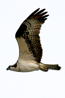 Osprey, Lake Mead