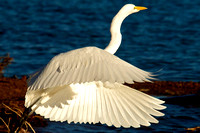 Great Egret, Lake Mead