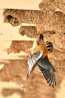 Kestral Captures Cliff Swallow, Lake Mead