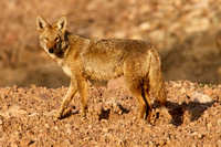 Coyote, Lake Mead