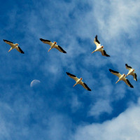 Fall Images, American White Pelicans Fly Over Lake Mead Nevada