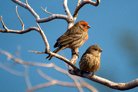 House Finch, Lake Mead